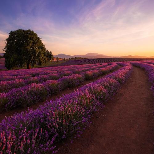 Bridestowe Lavender Estate Tasmania